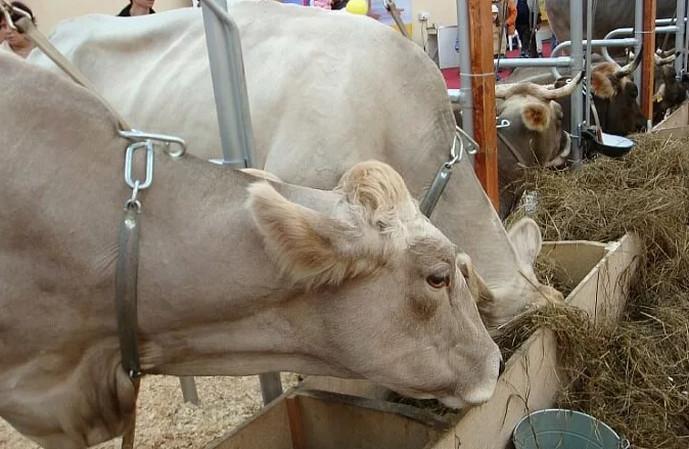 коровы едят