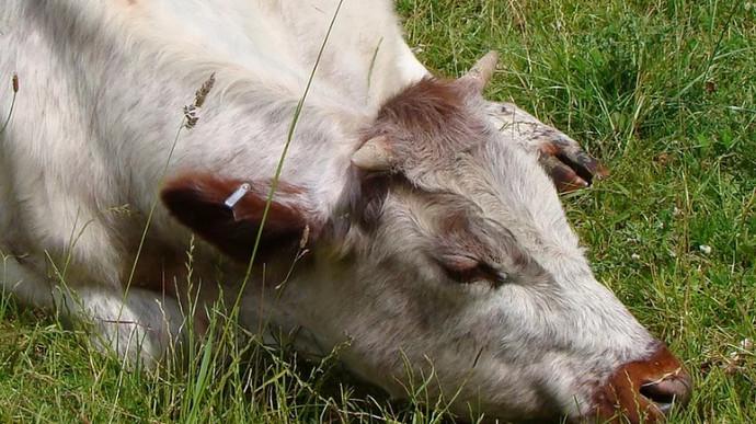 болеет корова