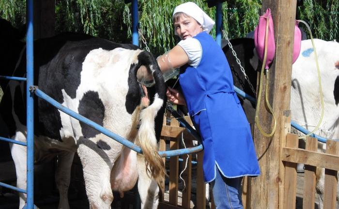 доярка и корова