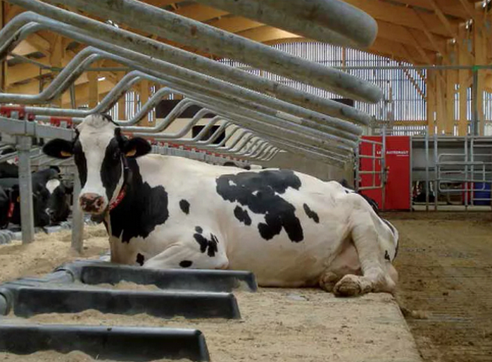 Понос у коровы: лечение в домашних условиях, видео