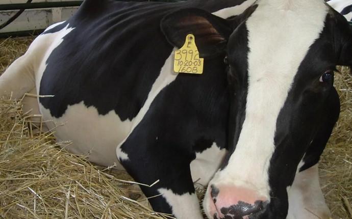 корова легла