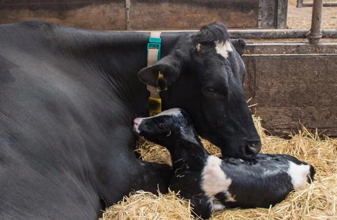 корова родила