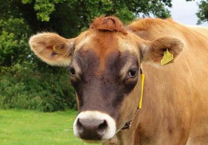корова смотрит