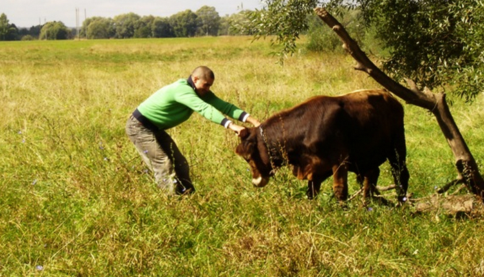 корова вредничает