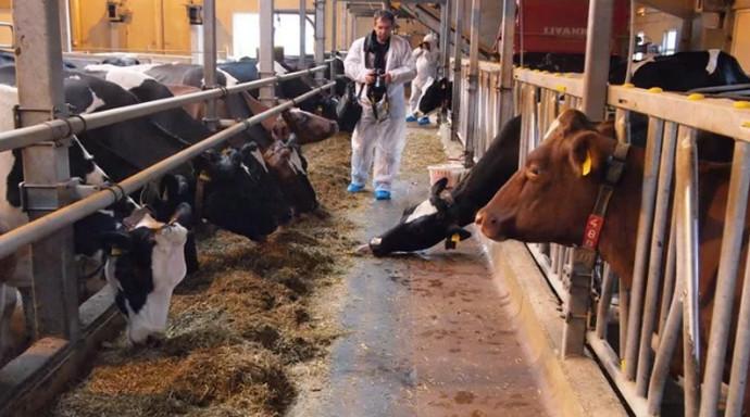 коровы в стоиле