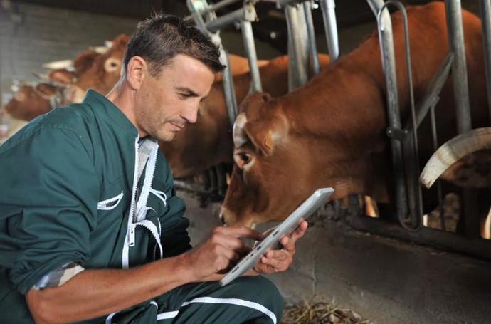 корову лечат