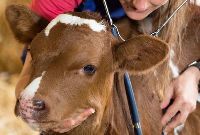маленькая корова