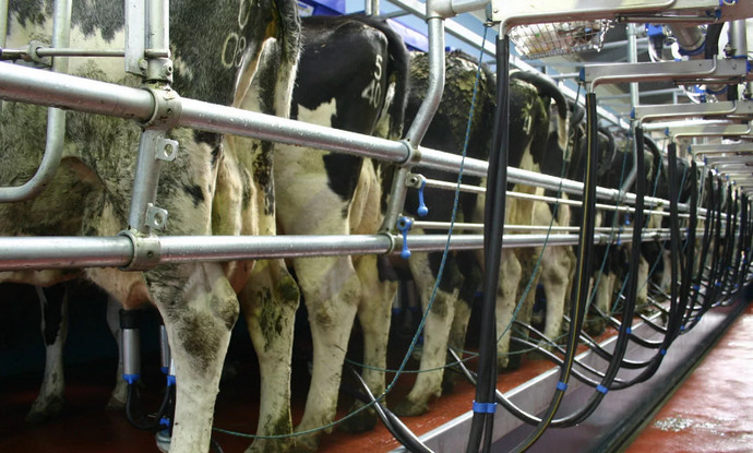 много коров доят