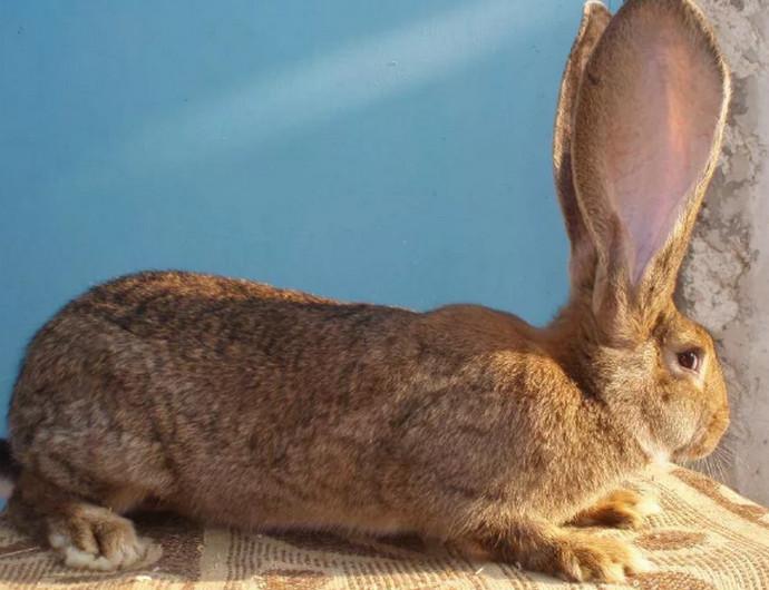 ушастый кролик