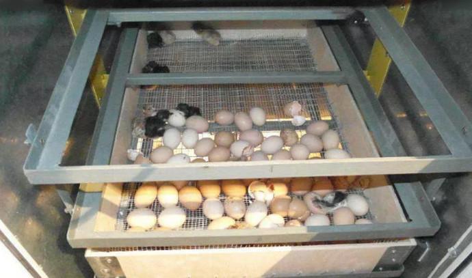 яйца и птенцы