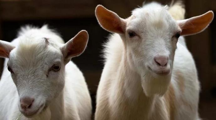 белые козы