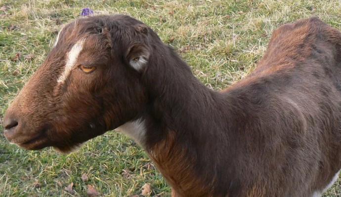 большая коза