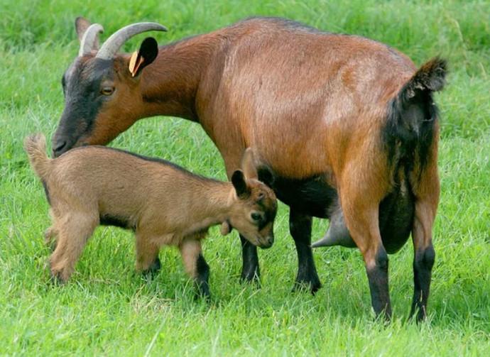 коза и детеныш