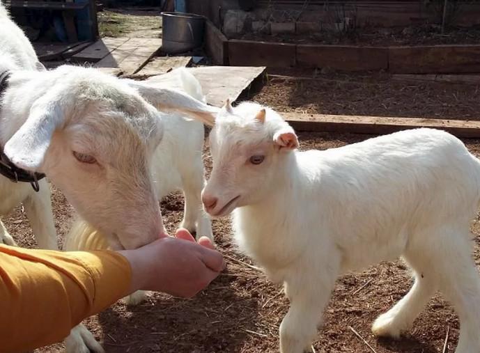 коза с ребенком