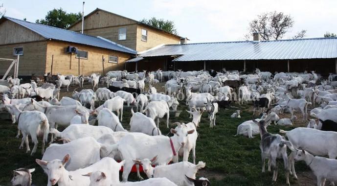 козы гуляют