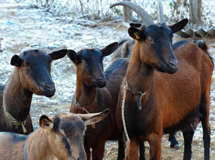 козы стоят