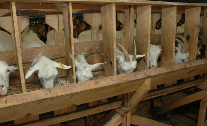 козлы в стоиле