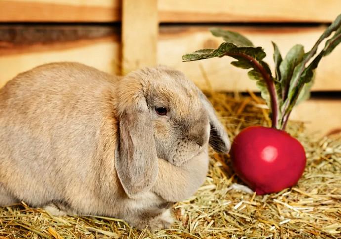 кролик и свекла
