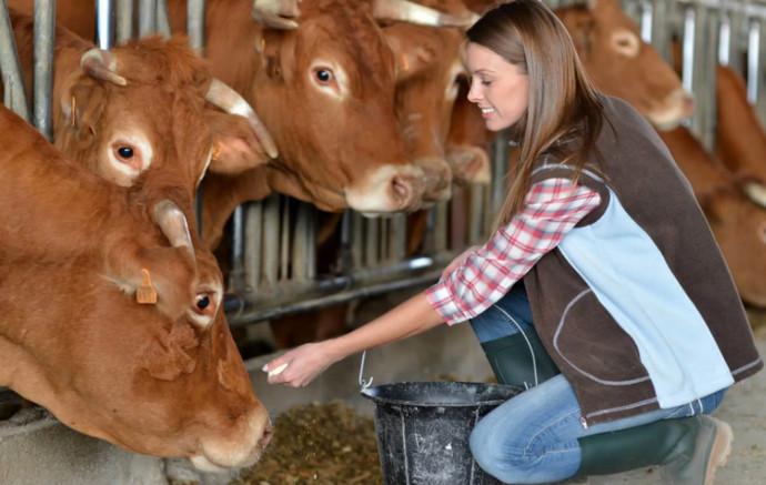 рыжие коровы