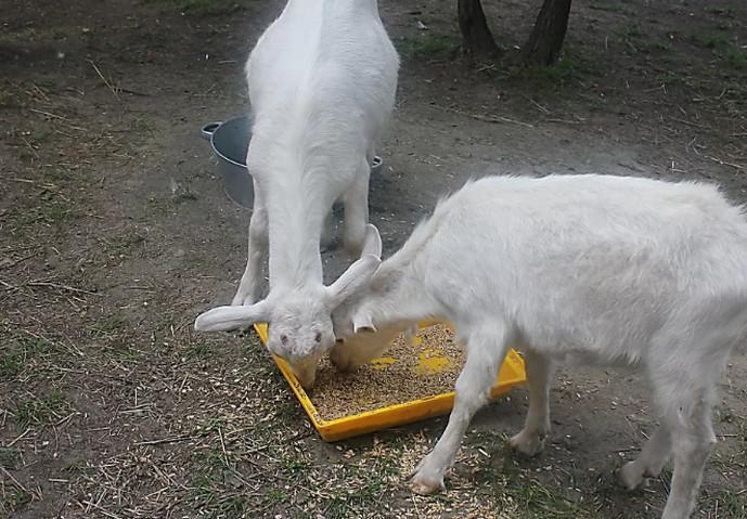 две козы едят