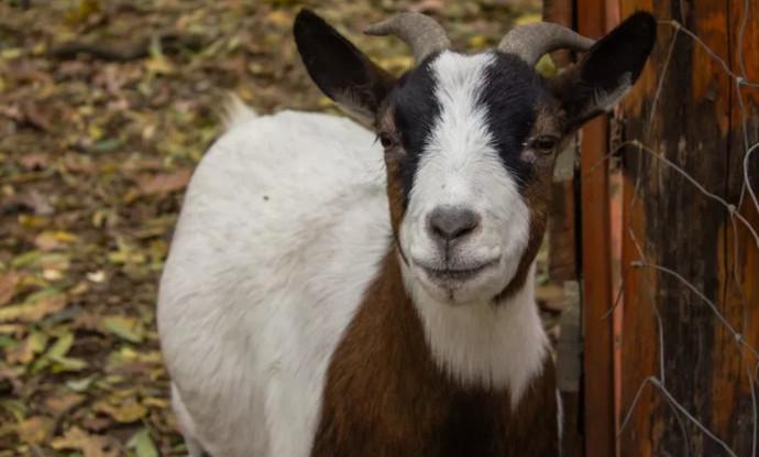 коза смотрит