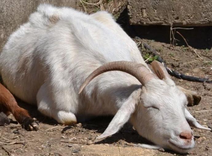 коза спит