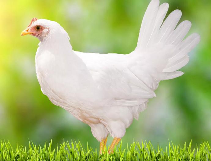 курица на траве