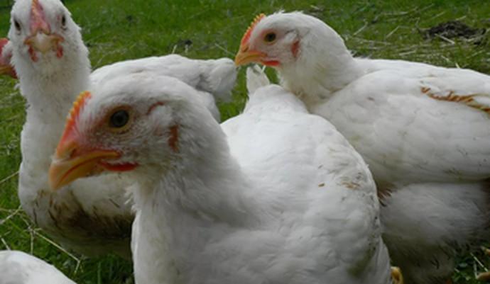 молодые курицы