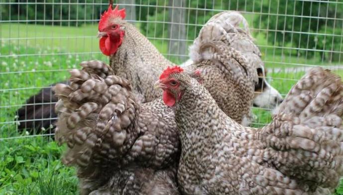 пестрые курицы