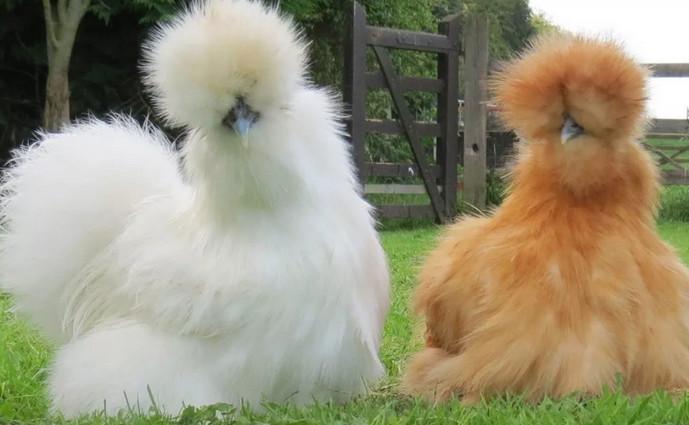 пушистые курицы