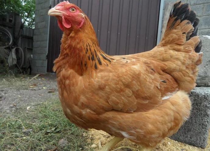 рыжая курица