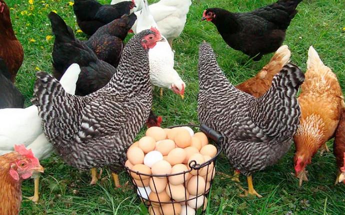 курицы и петухи