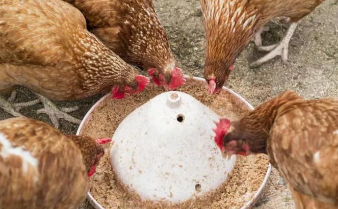 куры клюют корм