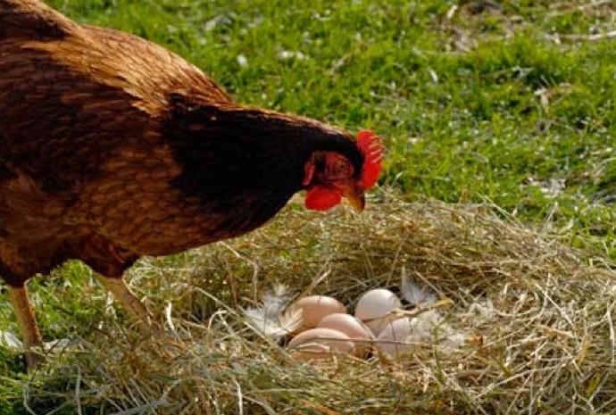 курица и гнездо