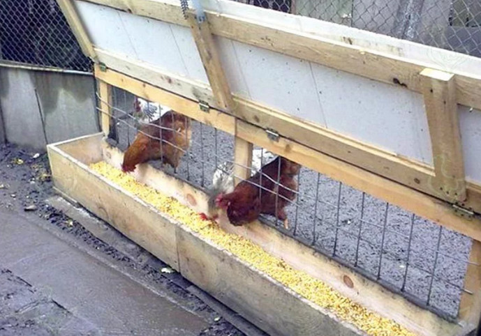курицы клюют