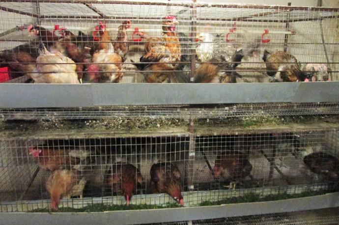 много куриц