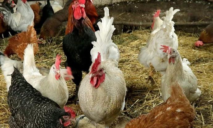 разные курицы