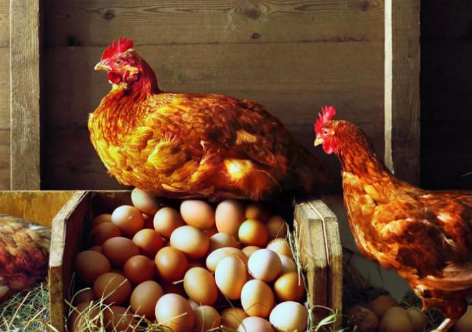 рыжая курица и яйца