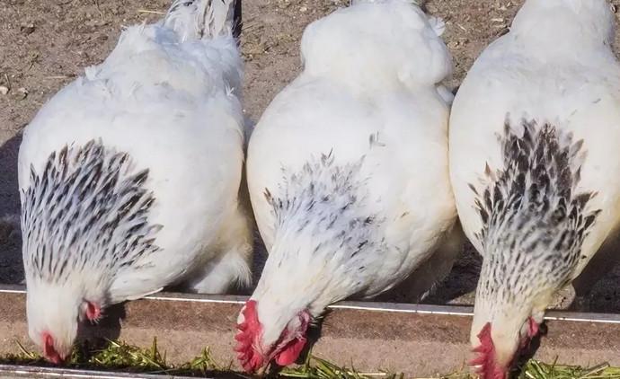 три куры едят