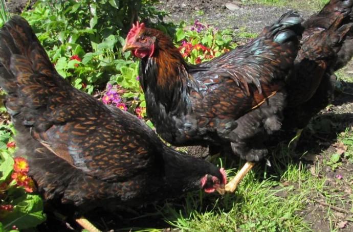 черные курицы