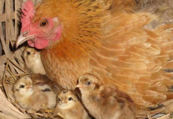 цыплята и мама