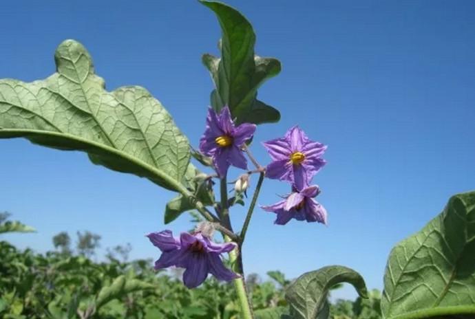 цветы баклажана