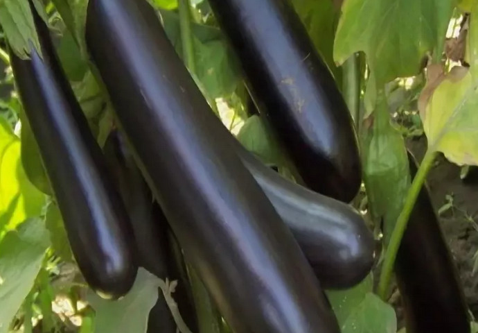 длинные баклажаны