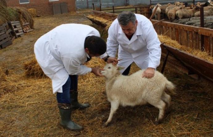 доктор смотрит козу