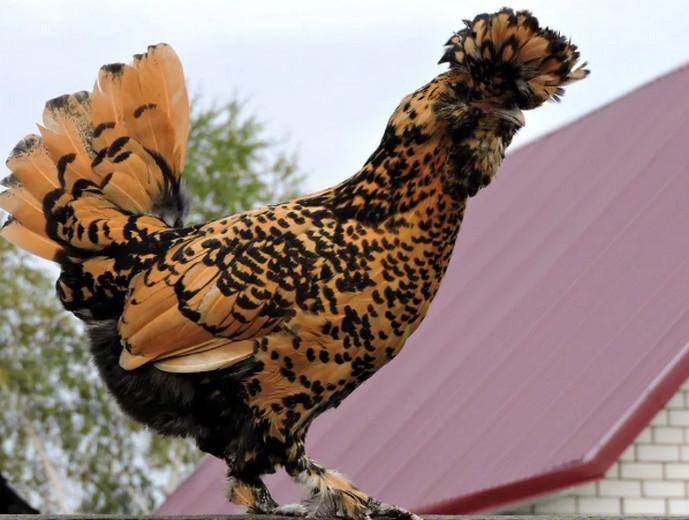 желтая курица