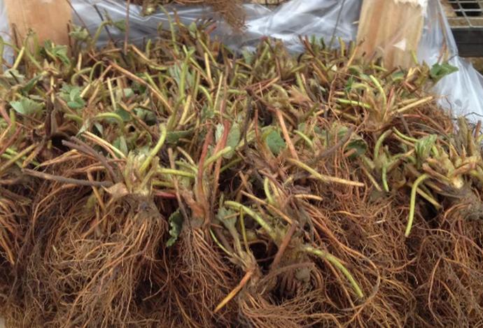 клубника с корнями