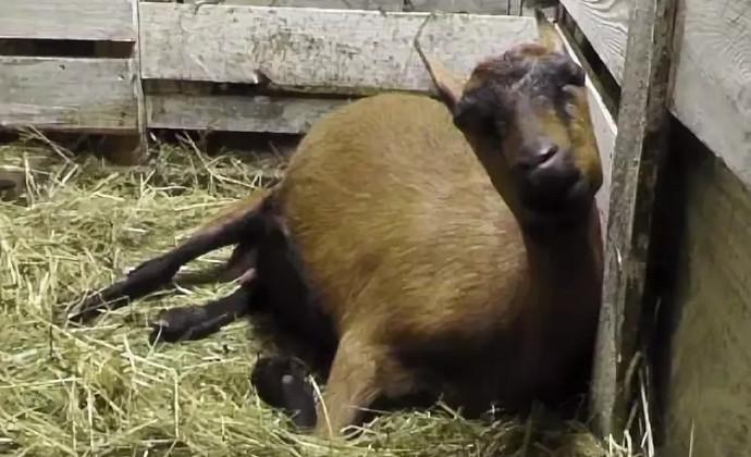 коза приболела