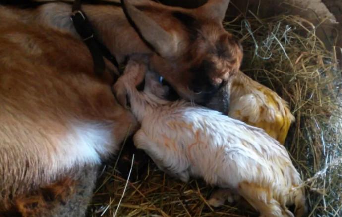 коза с малышами