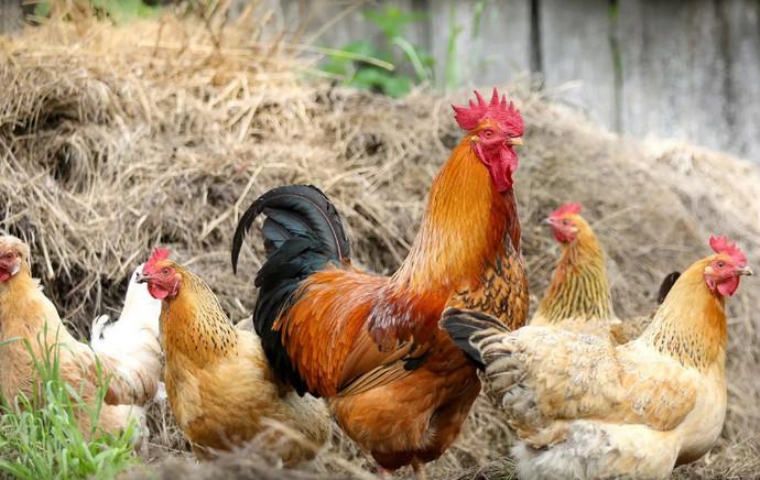 курицы и петух гуляют