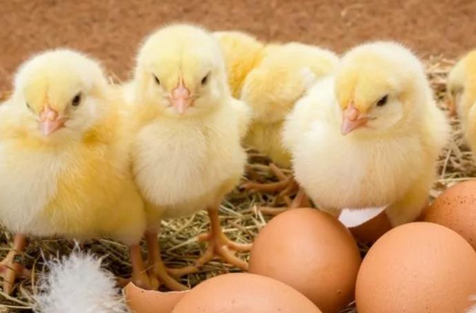 несколько цыплят